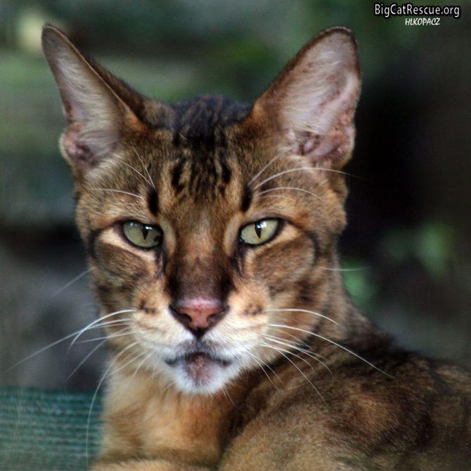Handsome King Tut Savannah showing off those beautiful green eyes!