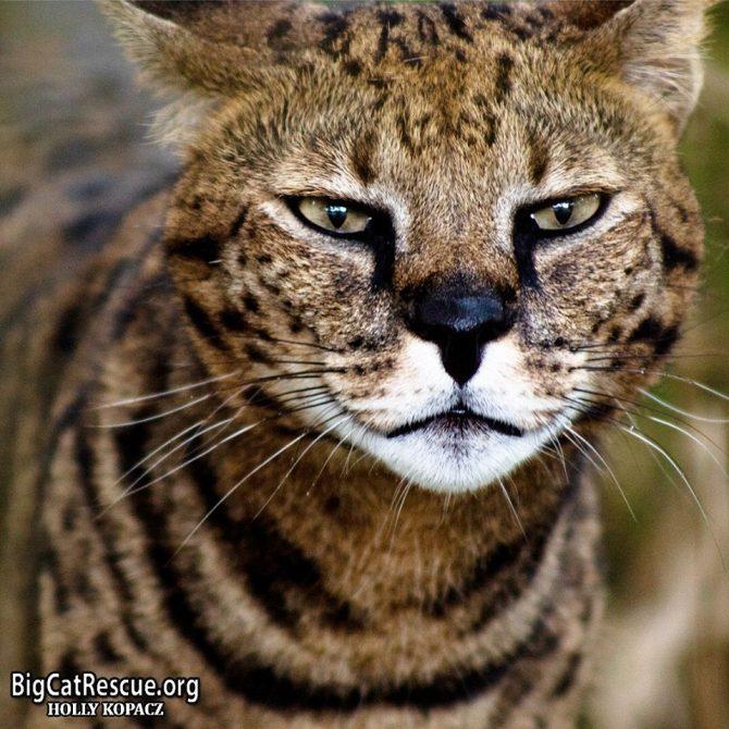 What is on Beacher the Savannah cat's mind?