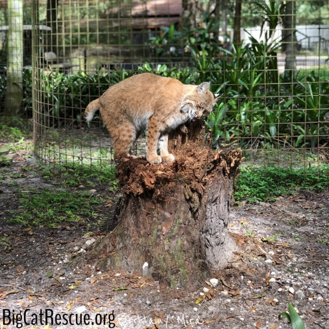 Smalls Bobcat spent some time loving on her favorite tree stump today