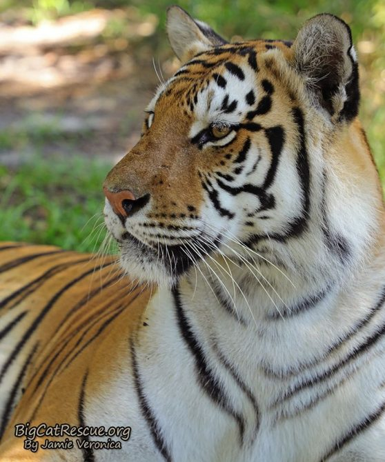 Dutchess Tigress is always watching for something chase worthy! What do you think has her attention this time?