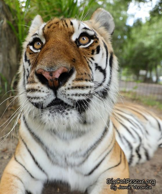 Did someone say 'sicle? ~ Kali Tiger