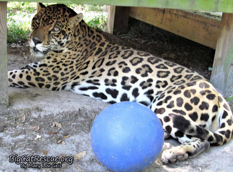 Manny Jaguar LOVES his toys!