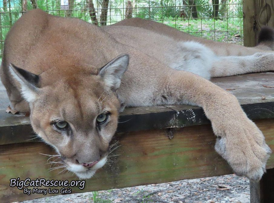 Ares Cougar just chillin on his platform watching the tour path!