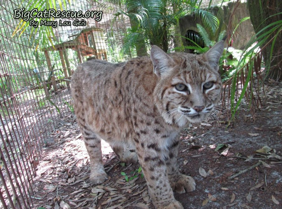 Breezy Bobcat checking lockout for second breakfast! ~ A girl can dream can't she?!