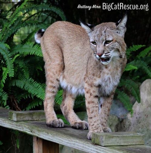 Max the bobcat is ready to pounce