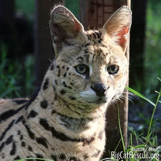 Verified Hutch the serval looks ready to take on the day!