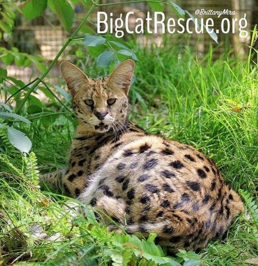 Sweet Hissy Funny Nala Serval appears to have been caught off guard in this cute snapshot by Keeper Brittany.