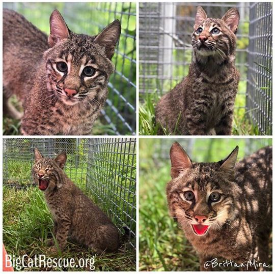 Bobcat Rehab - 3...2...1... Break the internet Flint! Flint gets outdoor time for fresh air and sunshine for a couple hours a day - weather permitting. His bones are very fragile and he is a very rambunctious boy so keepers move him to a very low but long enclosure in the rehab area and he loves it! As of now - for medical reasons he has been deemed non-releasable. We will update everyone when we know what is next! Watch flint at bigcatcams.com and enjoy these exclusive photos of Flint loving his grass!!