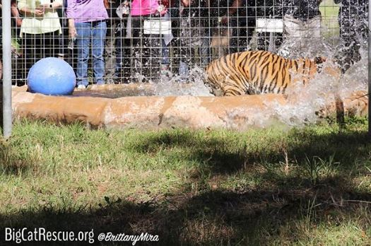 Who is coming to the November 2nd Wildcat Walkabout?? Get your tickets at bigcatrescue.org