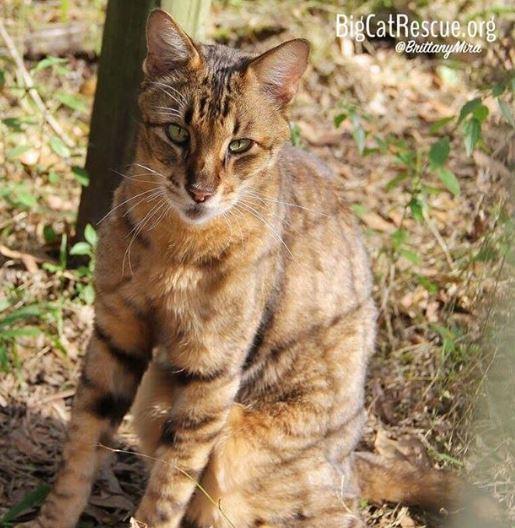 Verified King Tut Savannah cat shines like gold in the sunshine!