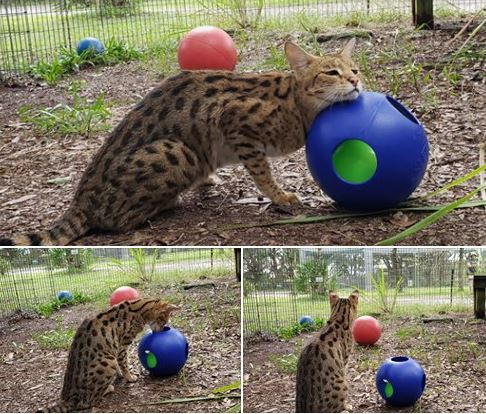 Mouser, the Savannah cat, really seems to enjoy his new toys.