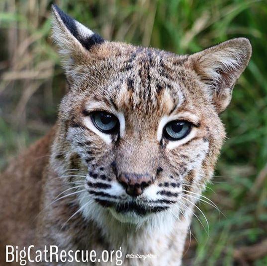 Moses bobcat and his big blue eyes