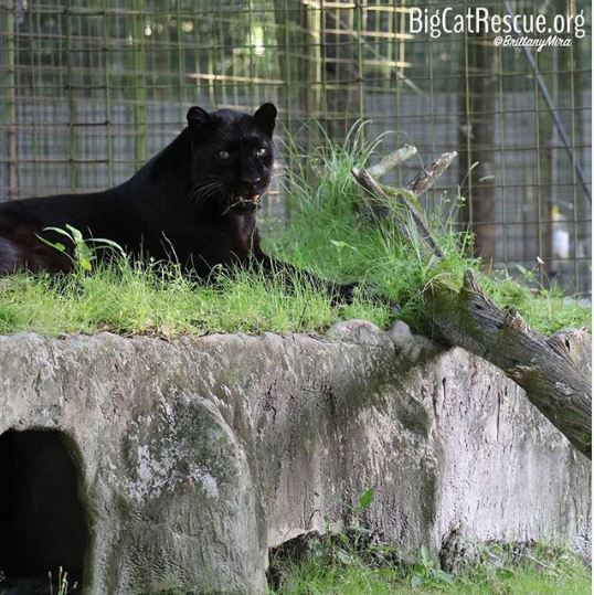 Jinx the black leopard enjoys lounging on top of his den <3