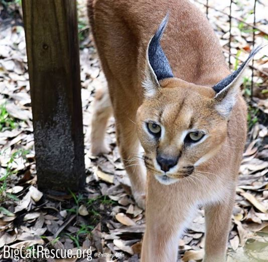 Sweetie Pie Cyrus Caracal has a mischevious look on his face