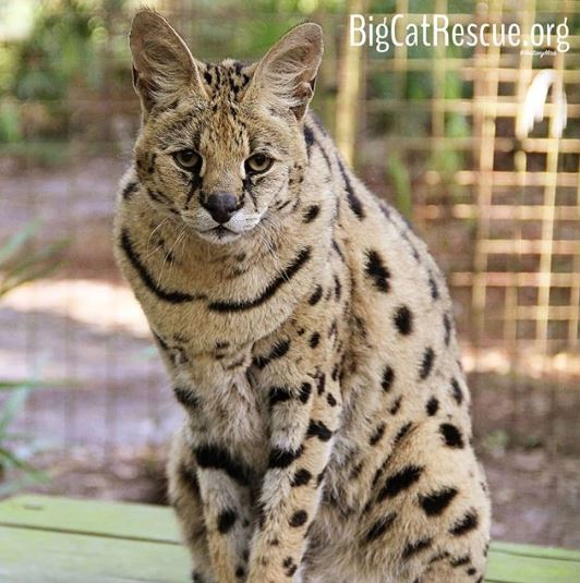 Sheena Serval enjoys getting tuna sicles from the Keeper Tour! bigcatrescue.org/tickets