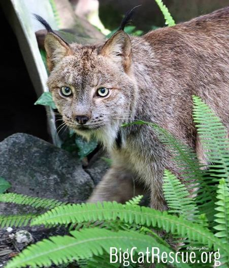 Hello from Gilligan the Canada Lynx!