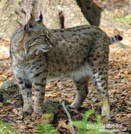 Beautiful little Lovey bobcat waiting on enrichment from the keeper tour <3 bigcatrescue.org/tickets