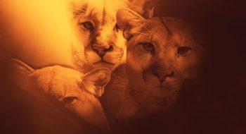 Cougar Mountain Lion Puma Facts, Photos, Sounds, News and Videos