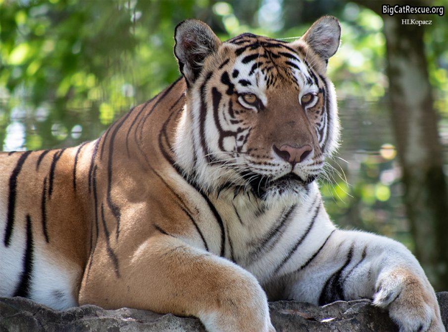 Dutchess Tiger at Big Cat Rescue
