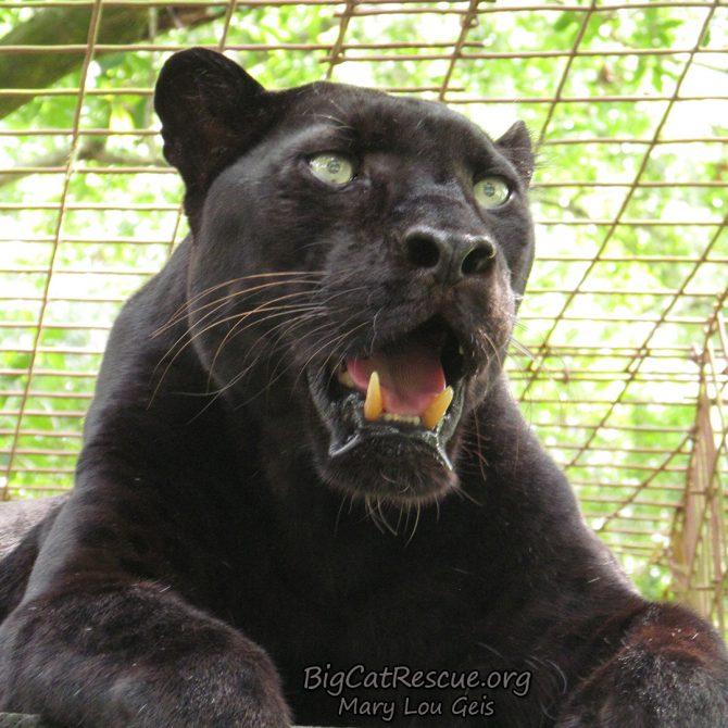 Jinx Black Leopard