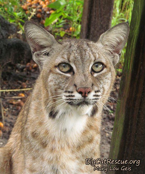 Max Bobcat