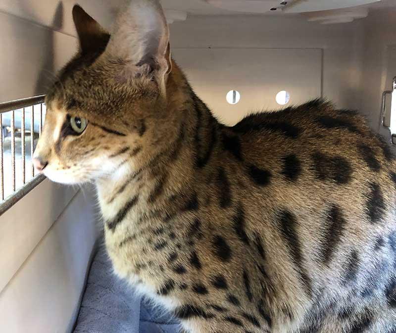 Mouser Savannah Cat