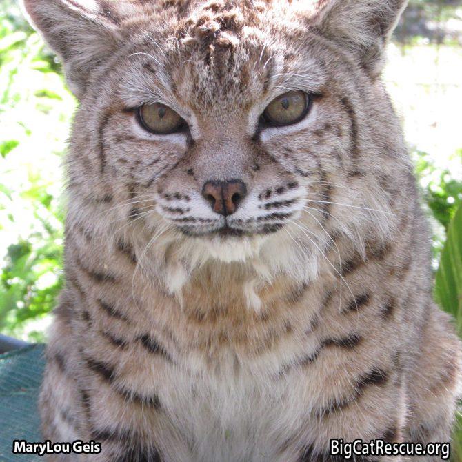 Tiger Lilly Bobcat