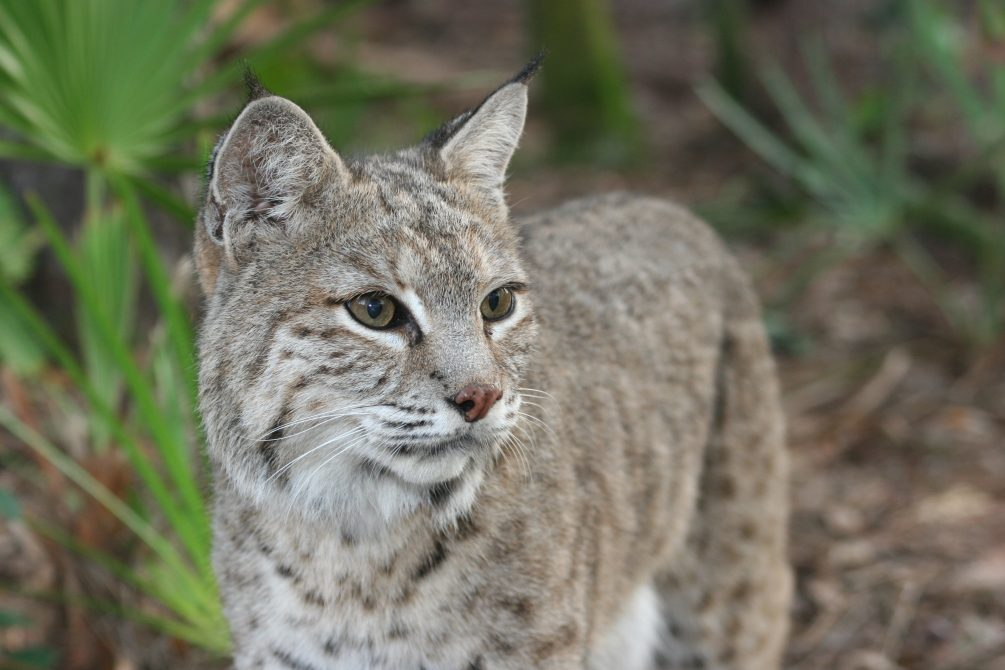 Stop the trophy hunting of bobcats in California!