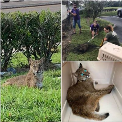Meet our newest rescue, Casper, he was found along a busy highway in Land O' Lakes. He is very thin and unstable on his rear legs. It is not clear yet if he is injured. We have set him up in the Bobcat Hospital and will monitor him overnight. Dr. Justin will then determine if he will be examined tomorrow or Monday.http://bigcatrescue.org/casper-bobcat/