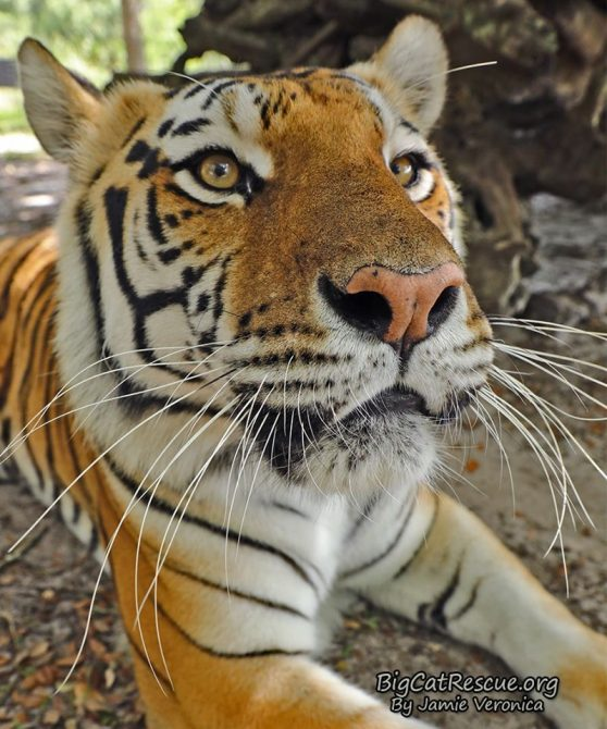 Miss Dutchess Tiger wishes you a wonderful Whiskers Wednesday!