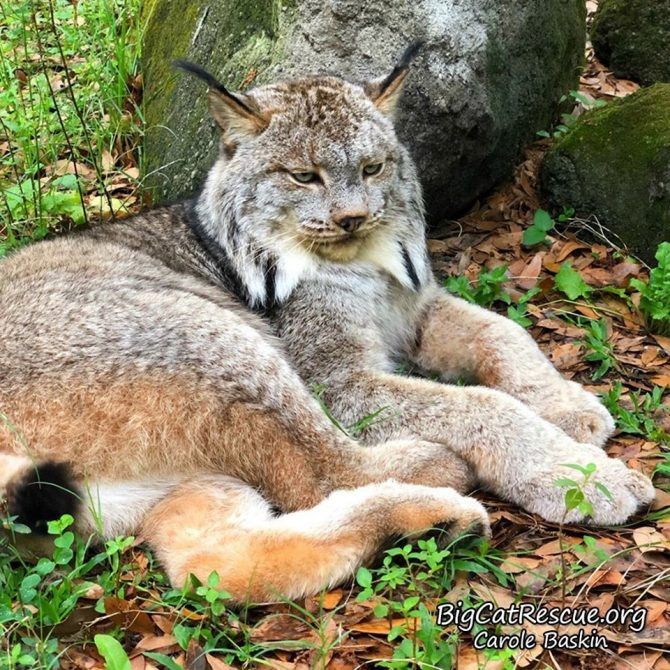 Happy FURsday Thursday from handsome guy Gilligan the Canada Lynx!