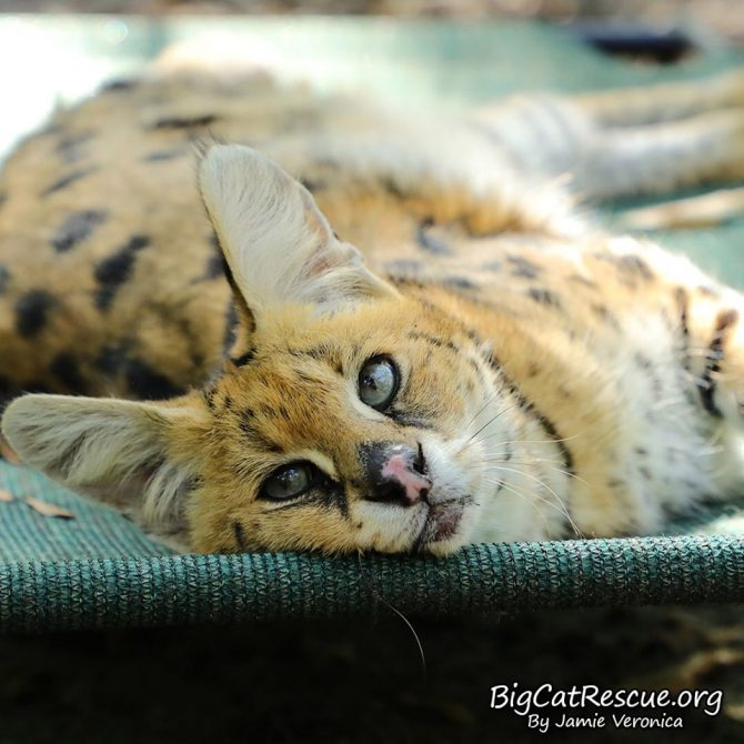 Sweet Servie Serval wishes you a quiet, peaceful Sunday evening!
