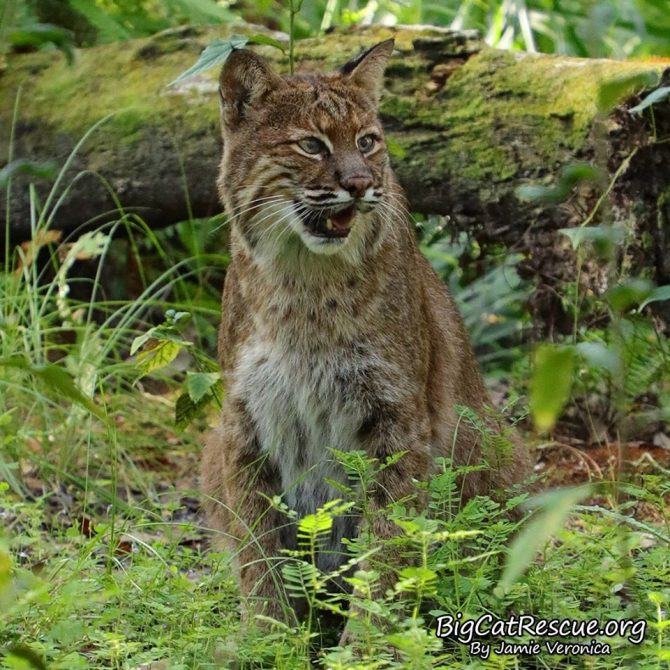 Frankie Bobcat is so happy CATurday is finally here!