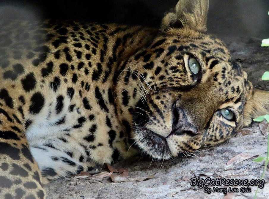 Miss Armani Leopard wishes you a fantastic FURiday night! Get some sleep Armani! CATurday will be here soon