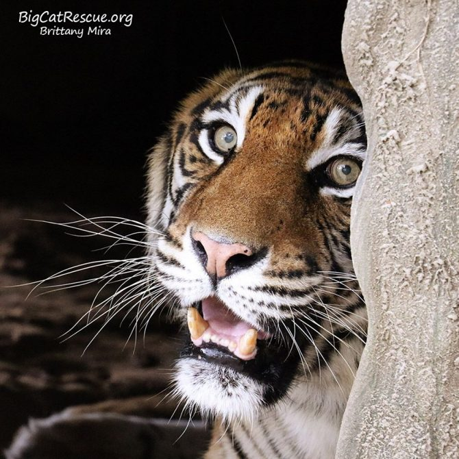 Good morning Big Cat Rescue Friends! ☀️ Amanda Tiger is peeking out to wish you all a beautiful Sunday!