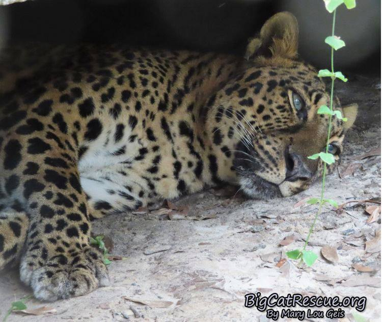 Good night Big Cat Rescue Friends! ? Miss Armani Leopard is off to dreamland! Nite nite Armani!
