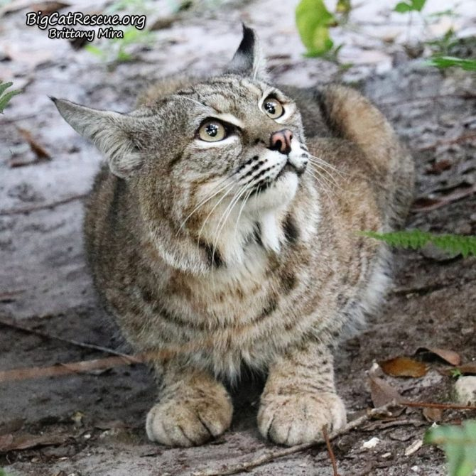 Handsome Philmo Bobcat has his eyes fixed on a squirrel in the tree!