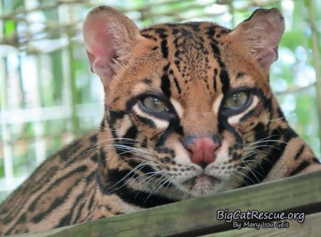 Miss Purr-fection Ocelot wishes everyone sweet dreams on this CATurday night!