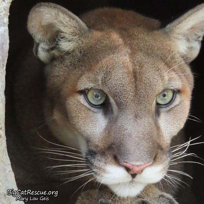 Beautiful Artemis Cougar is watching to see what her silly brothers are doing!