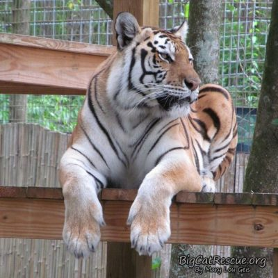 Miss Dutchess Tiger is already watching for her tiger neighbor to come out to play on this CATurday!