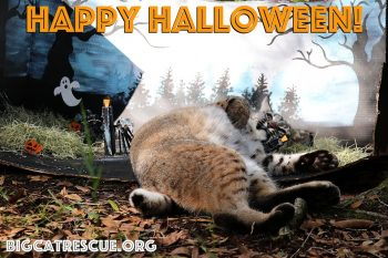 Happy Halloween from Max bobcat and all of us at Big Cat Rescue! Have a safe and fun Holiday - the best treat you can give the Big Cats is to make The Call of the Wild TODAY!! BigCatAct.com