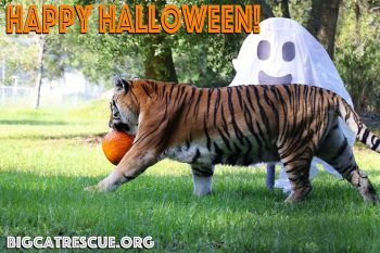 Happy Halloween from Kali Tiger and all of us at Big Cat Rescue! Have a safe and fun Holiday - the best treat you can give the Big Cats is to make The Call of the Wild TODAY!! BigCatAct.com