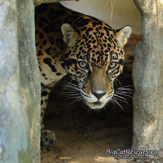 "Good morning Big Cat Rescue Friends! ☀️ Handsome Manny Jaguar is peeking out to say ""Good moment"" on this Whiskers Wednesday!"
