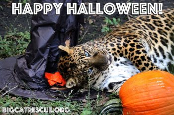 Happy Halloween from Armani Leopard and all of us at Big Cat Rescue! Have a safe and fun Holiday - the best treat you can give the Big Cats is to make The Call of the Wild TODAY!! BigCatAct.com