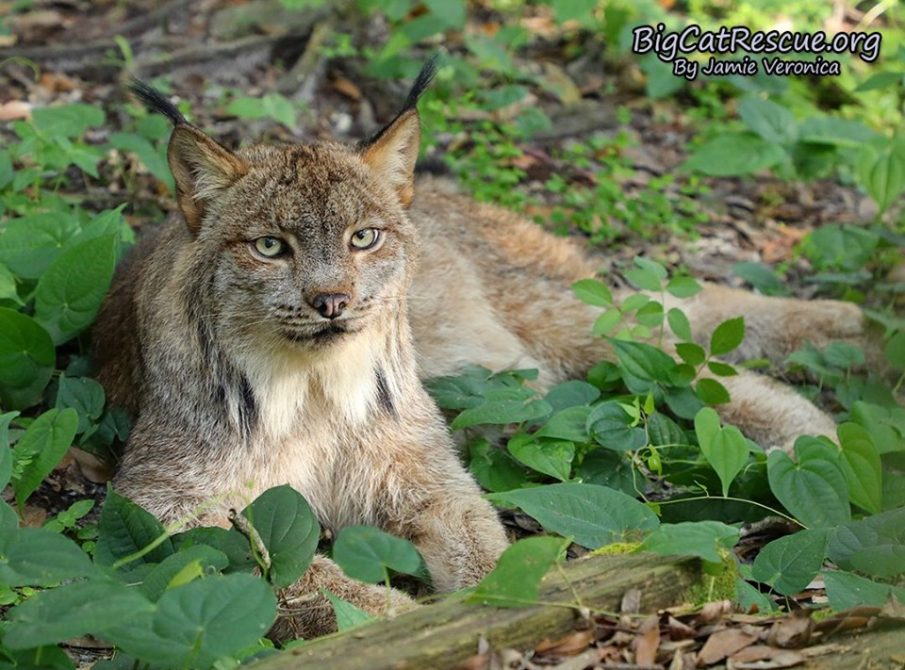 Handsome Gilligan the Canada Lynx just hangin out in the cool shade!