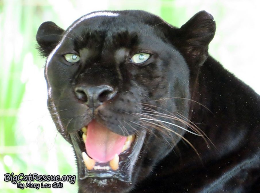 Good morning Big Cat Rescue Friends! Handsome Mr. Jinx the Black Leopard is happy to announce it is Tongue Out Tuesday!