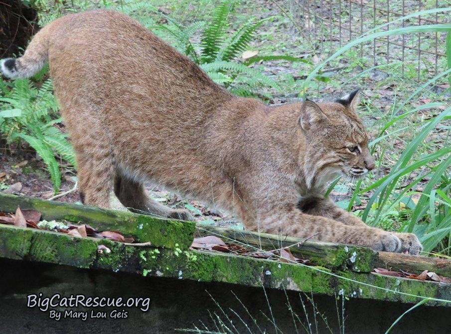 Frankie Bobcat working on sharpening those claws!