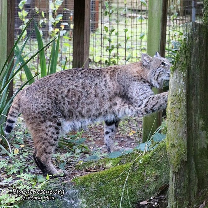 Shiloh Bobcat is headed to the top of his ramp so he can see the breakfast cart coming !