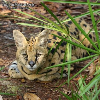 Goodnight Big Cat Rescue Friends! ? Sweet Sheena Serval is all ready for a nice long CATnap! Nite nite everyone!