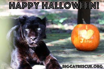 Happy Halloween from Jinx the Black Leopard and all of us at Big Cat Rescue! Have a safe and fun Holiday - the best treat you can give the Big Cats is to make The Call of the Wild TODAY!! BigCatAct.com